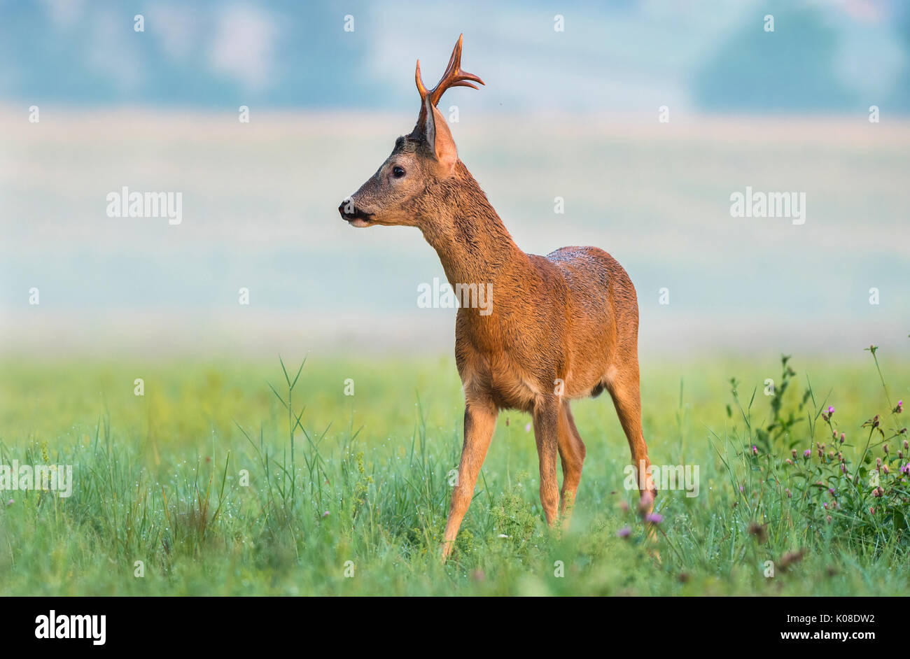 Roe buck with big antlers in a field - Stock Image