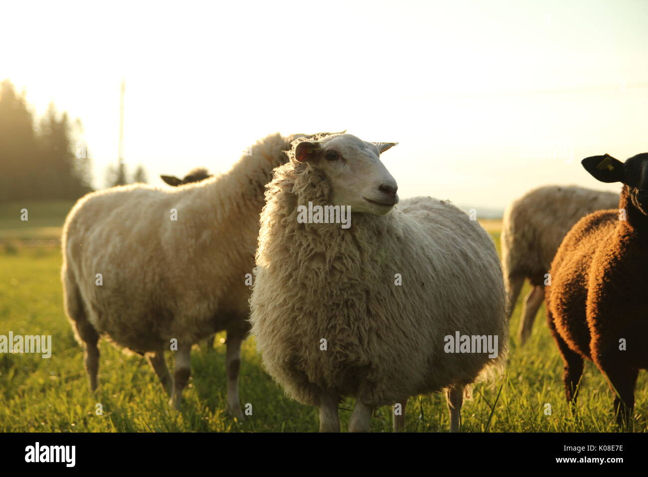 Sheep standing in a norwegian meadow, Inderøy (Trøndelag, Norway) - Stock Image
