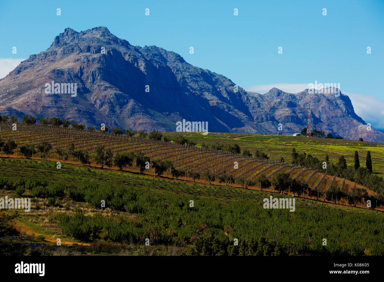 Vineyards at Stellenbosch with Stellenbosch mountains in the background, South Africa - Stock Image