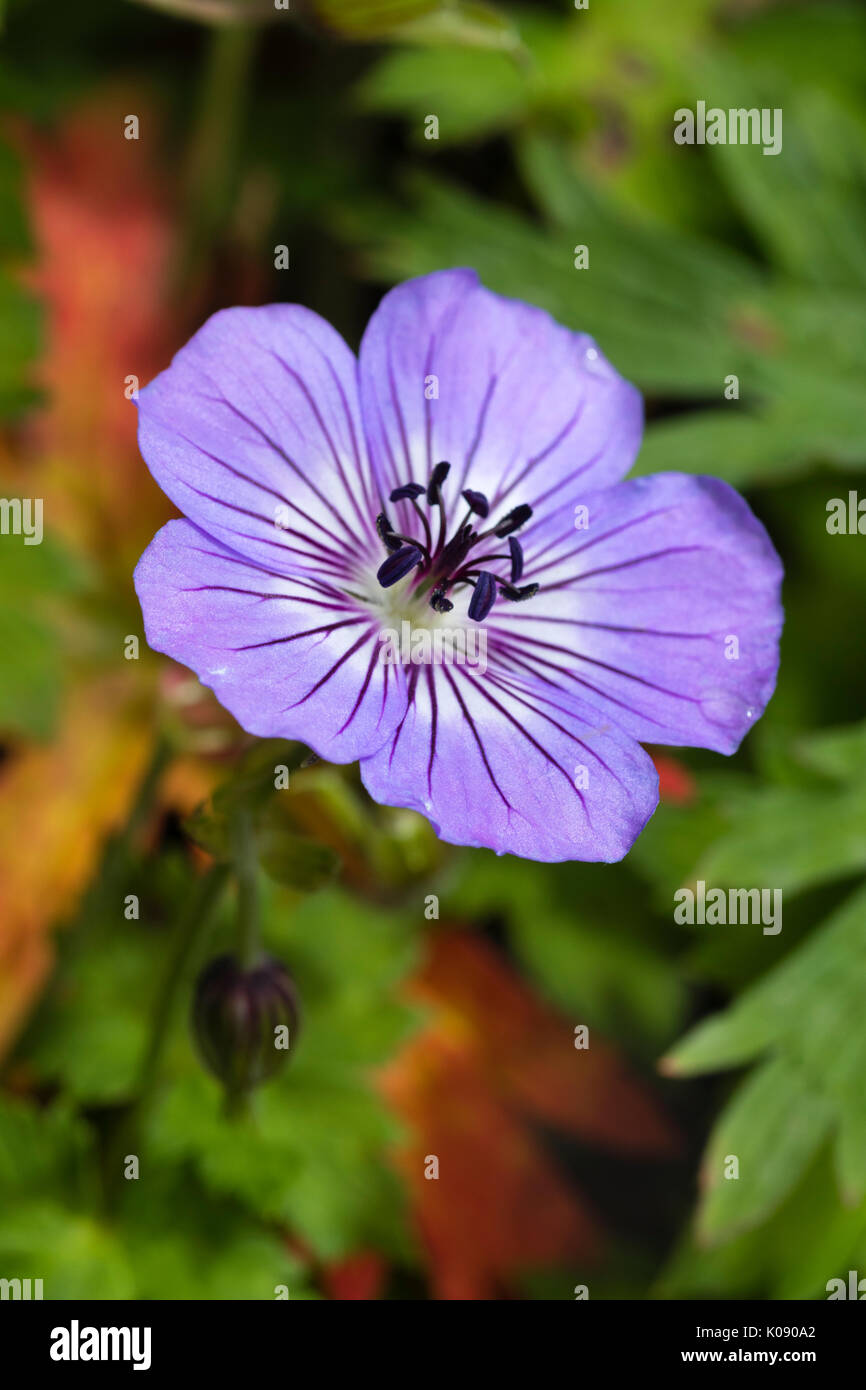 Close up of single flower of the summer flowering hardy perennial, Geranium wallichianum 'Havana Blues' - Stock Image