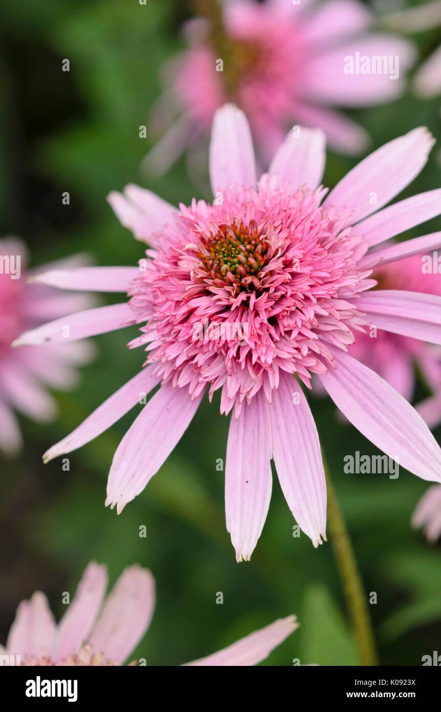 Purple cone flower (Echinacea purpurea 'Pink Sorbet') - Stock Image