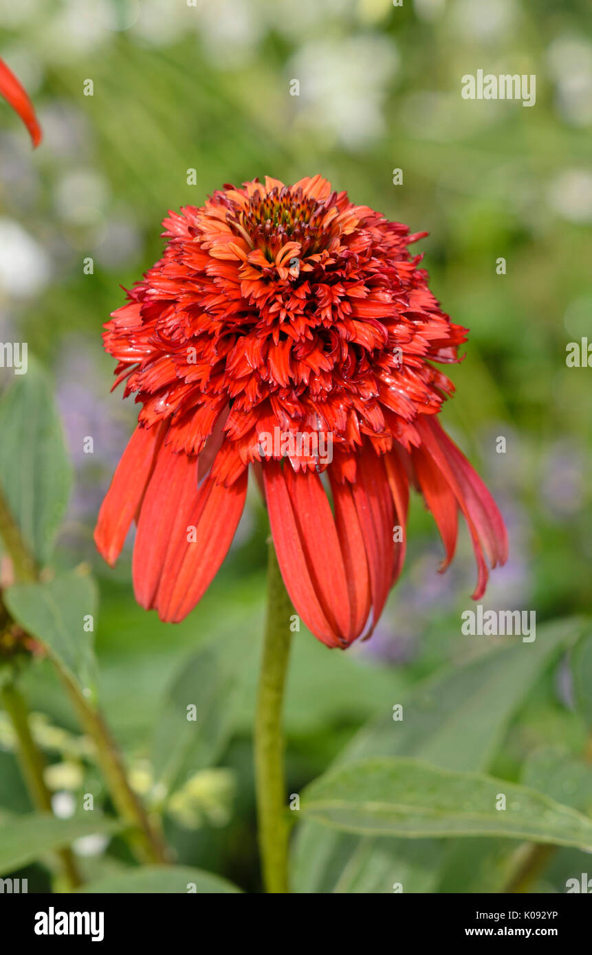 Purple cone flower (Echinacea purpurea 'Hot Papaya') - Stock Image