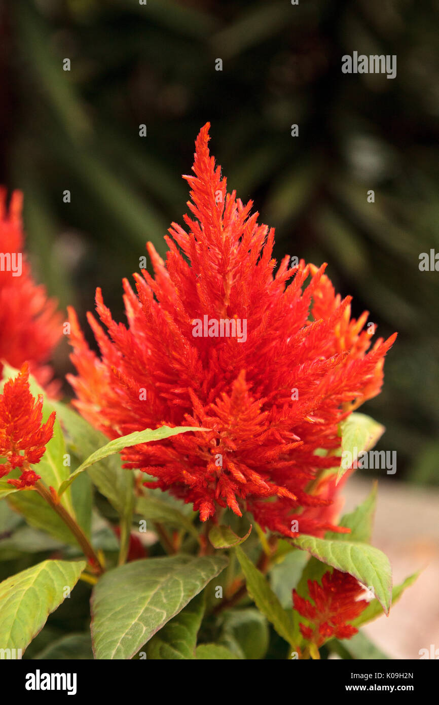Red flower of celosia also known as cockscomb or woolflowers bloom red flower of celosia also known as cockscomb or woolflowers bloom in africa mexico and even china as a perennial in gardens in summer mightylinksfo