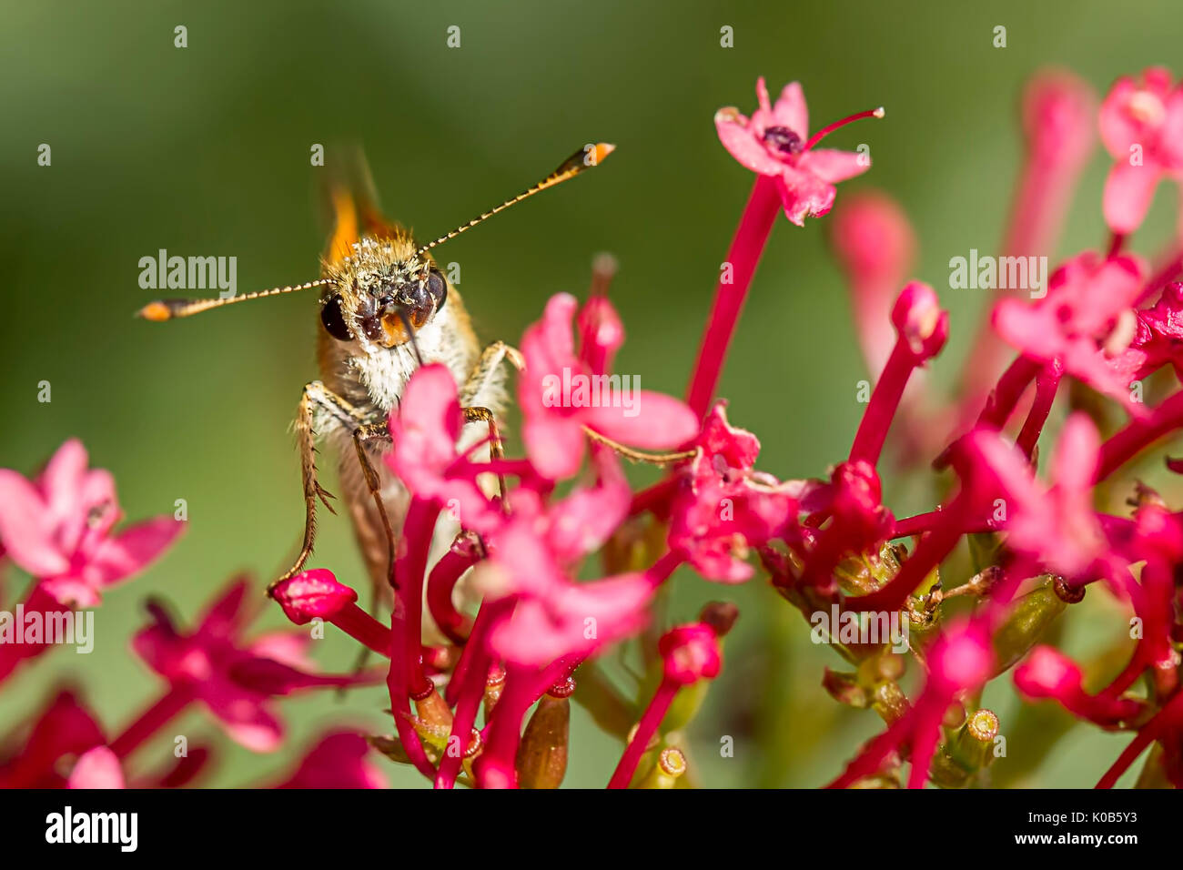 A close up of a moth on a flower with its antennae out wode on its head. - Stock Image