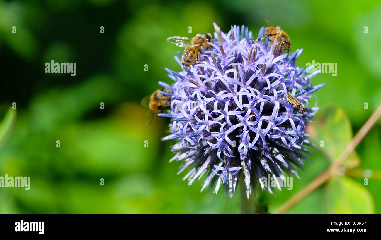 Summer English garden. Closeup of a flower bulb made from many small star-shaped five petals purple flower, with bees collecting nectar on it. - Stock Image
