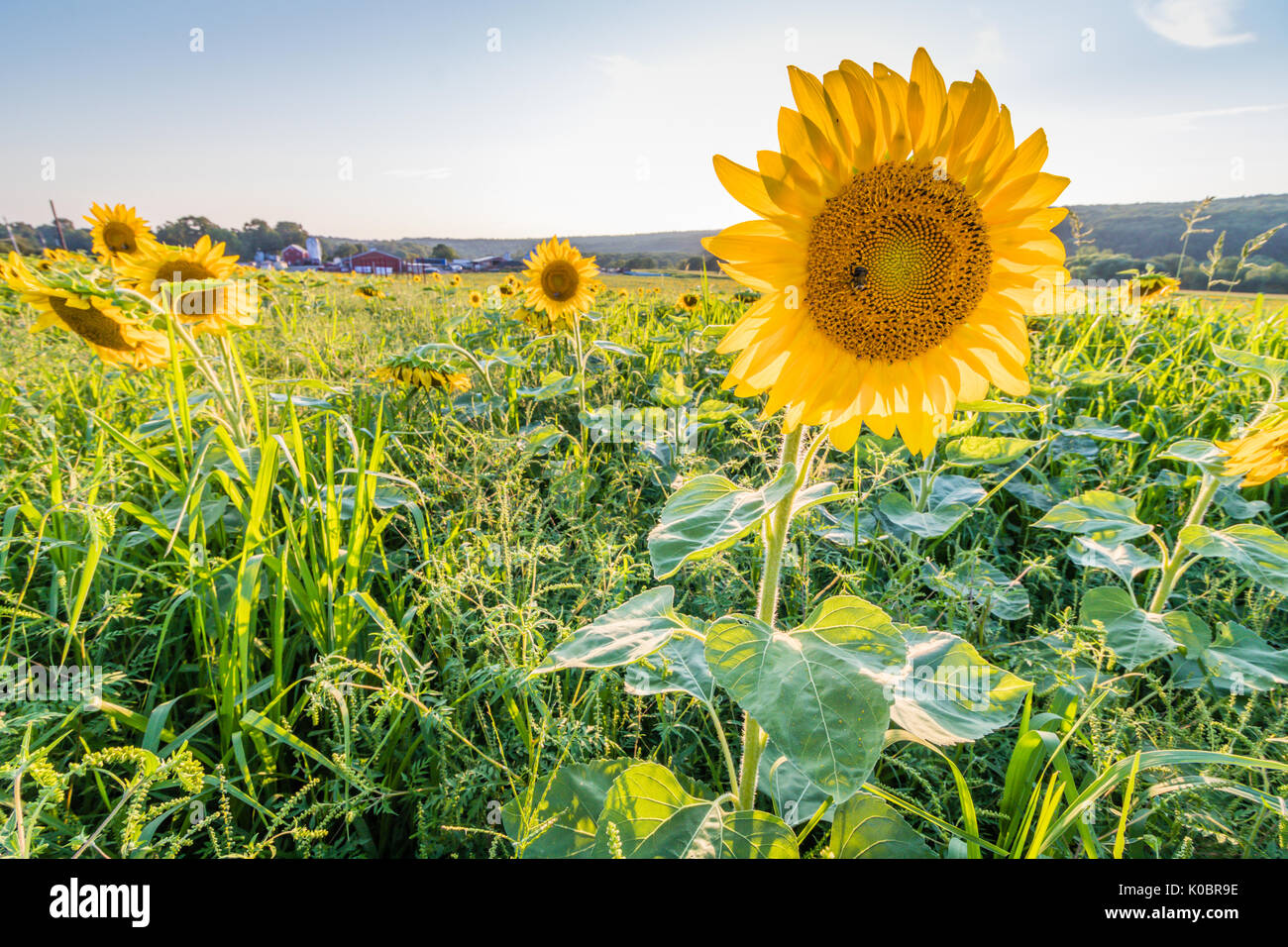 Field of sunflowers on a rural farm at sunset - Stock Image