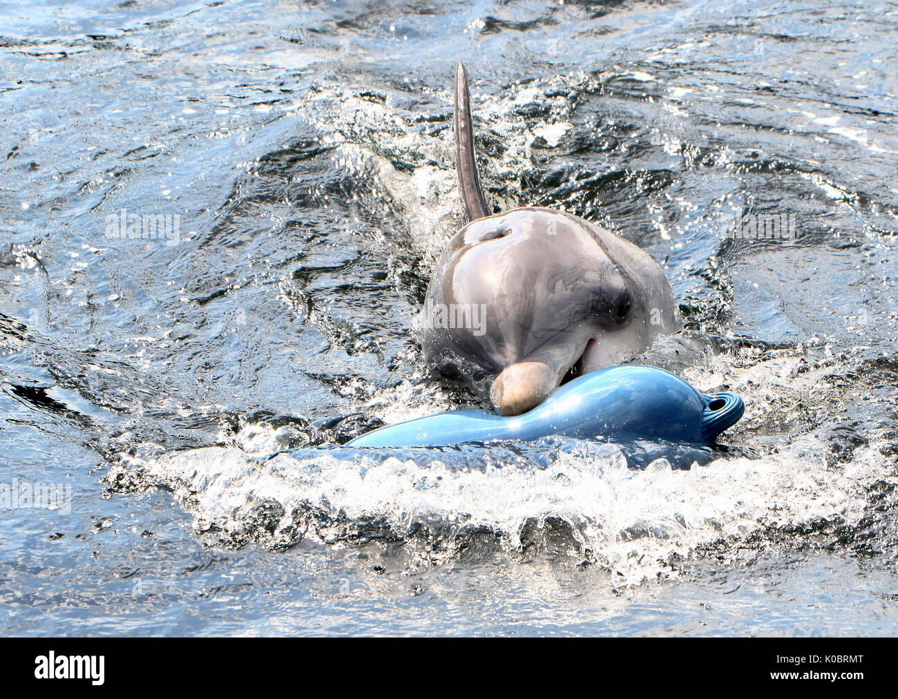 Atlantic Bottle-nose dolphin (Tursiops truncatus) surfacing, playing with a blue nautical buoy. - Stock Image