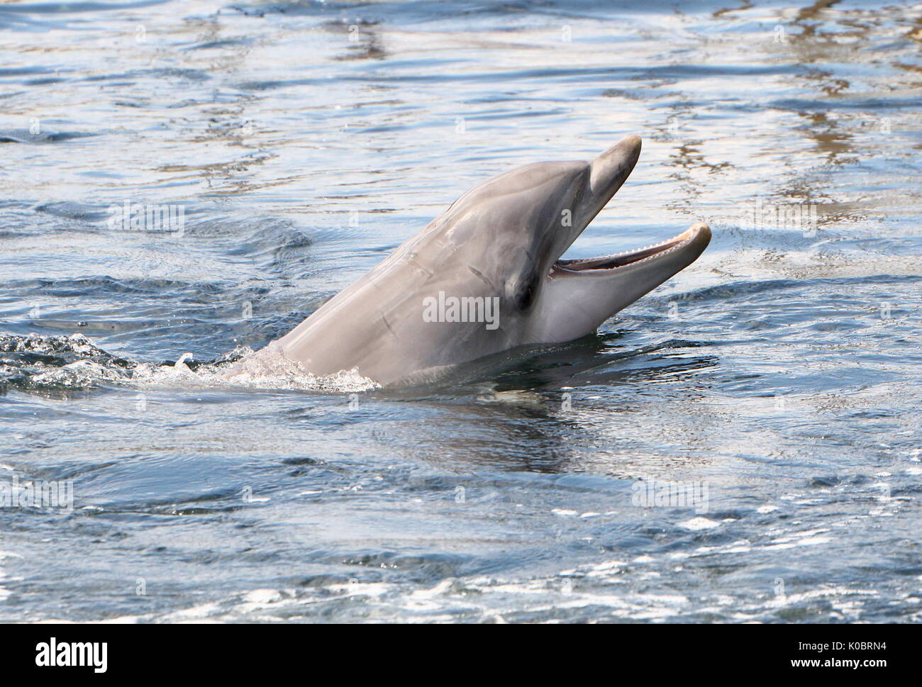Atlantic Bottle-nose dolphin (Tursiops truncatus) surfacing, close up of the head. - Stock Image