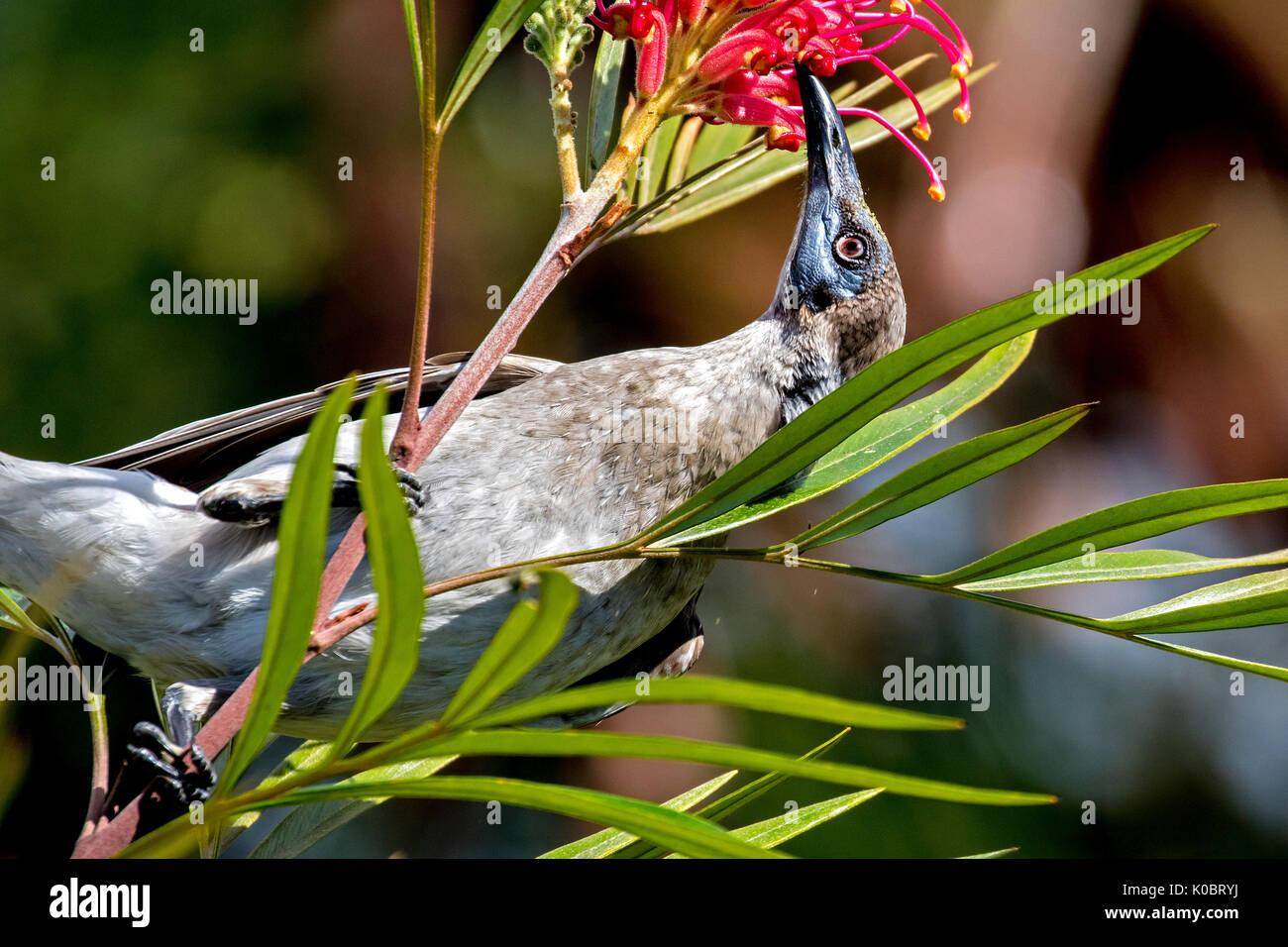 Little friarbird feeding on nectar - Stock Image
