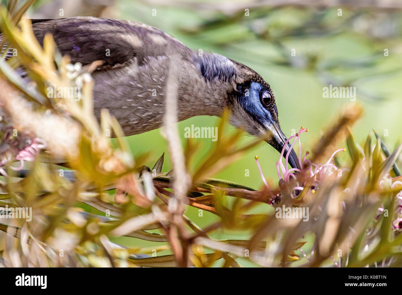 Little friarbird feeding on nectar - Stock Image