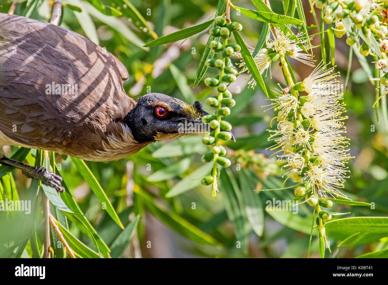 Noisy friarbird feeding on nectar - Stock Image