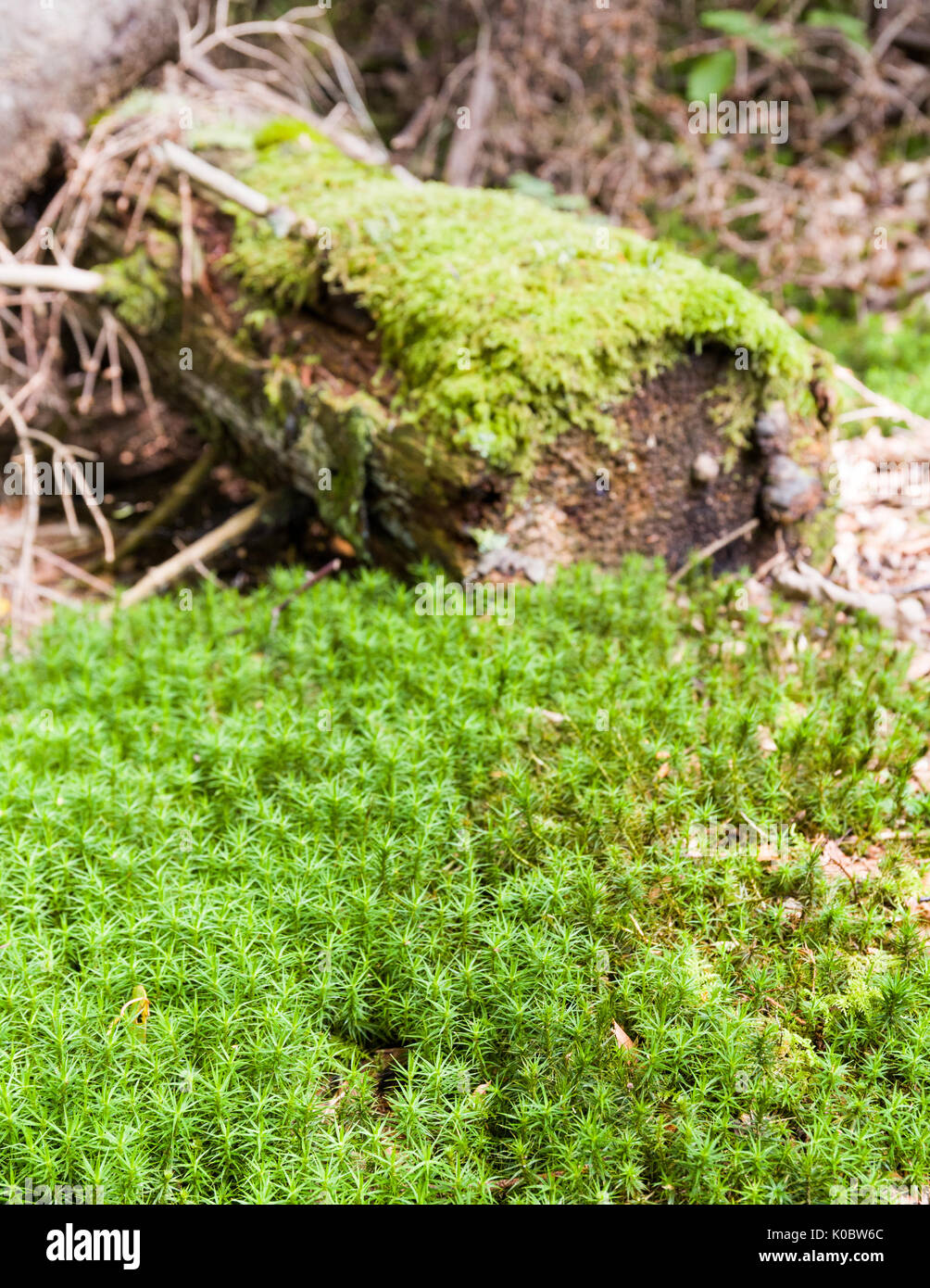 Patch of green moss (Bryophyte) in front of old fallen tree background also covered in green moss  Model Release: No.  Property Release: No. - Stock Image