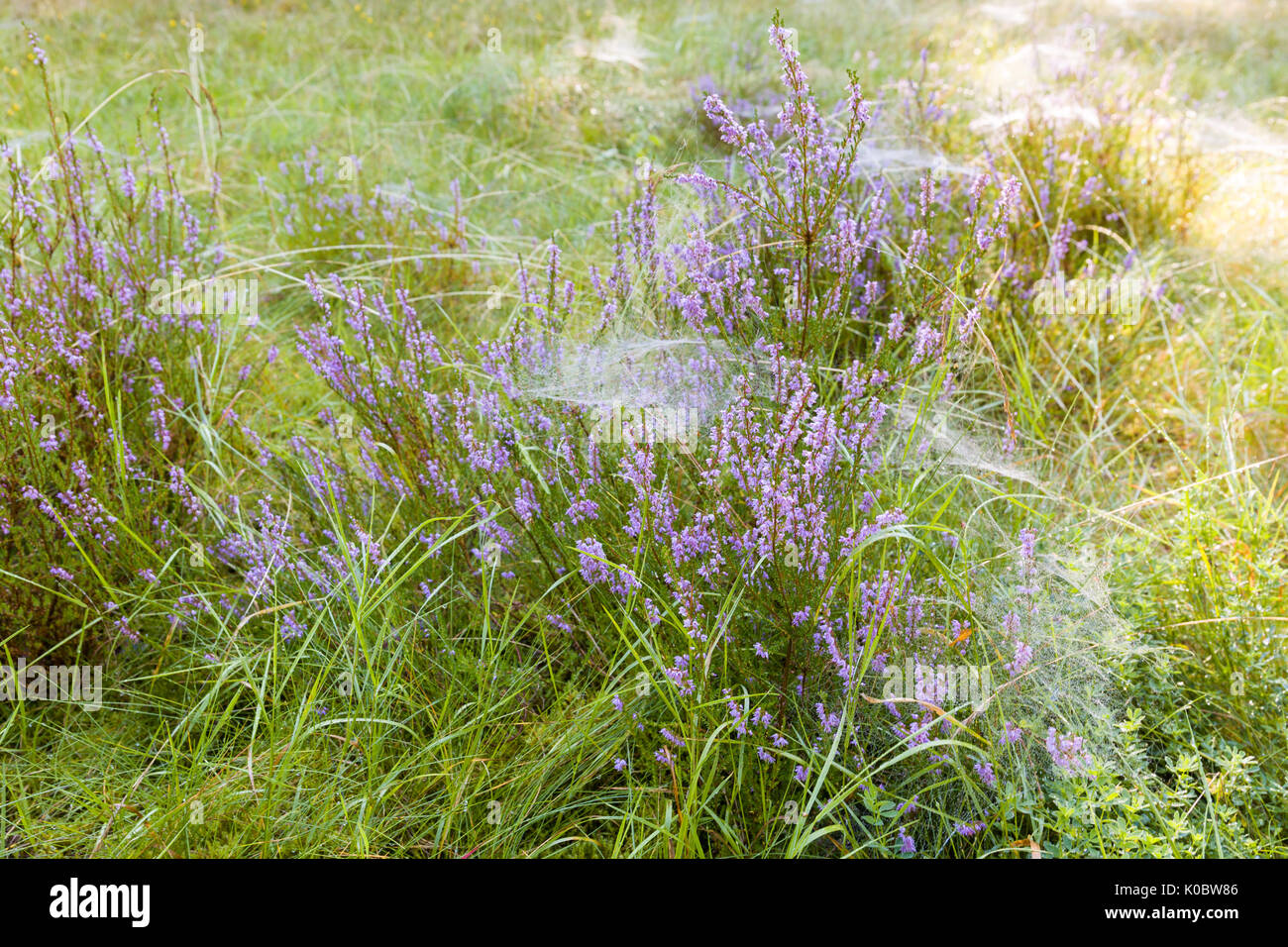 Beautiful rays of sunshine lighting up plenty of spider webs covering purple heather (Calluna vulgaris) or common heather  Model Release: No.  Property Release: No. - Stock Image