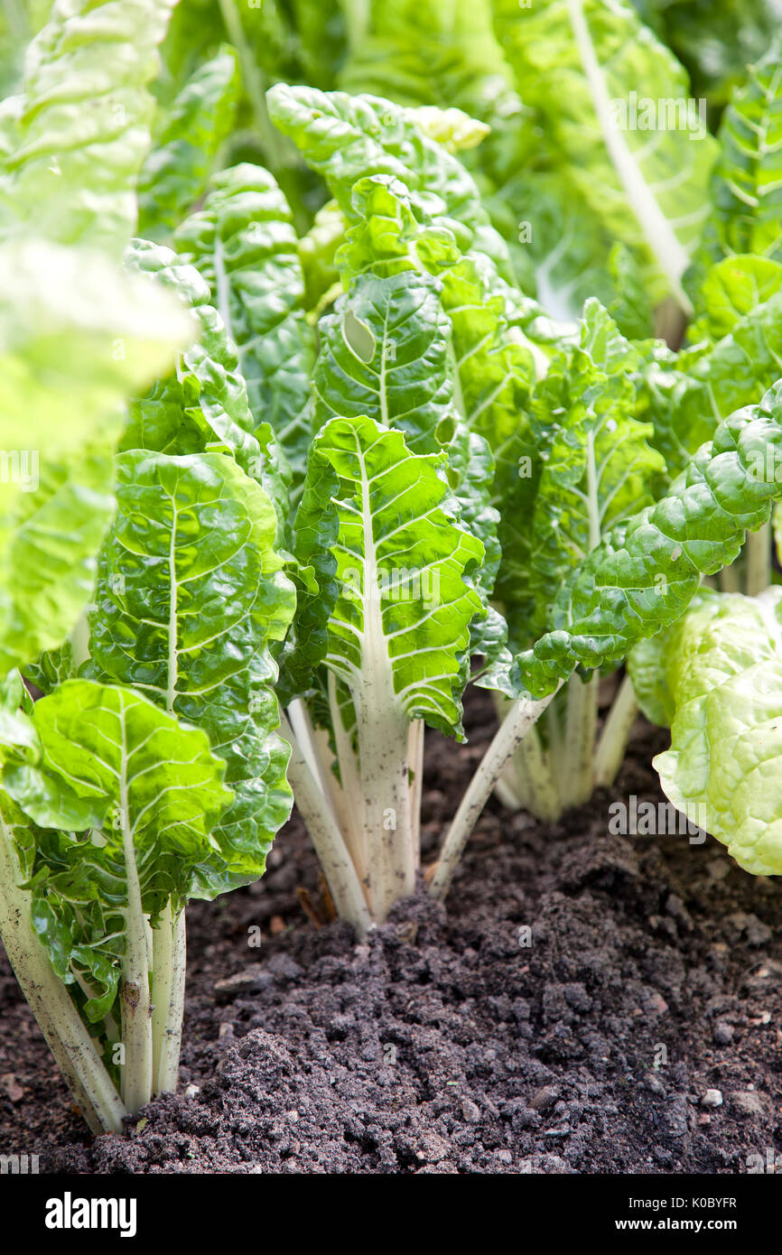 Stalks of beetroot sticking up from the ground in a vegetable patch Stock Photo