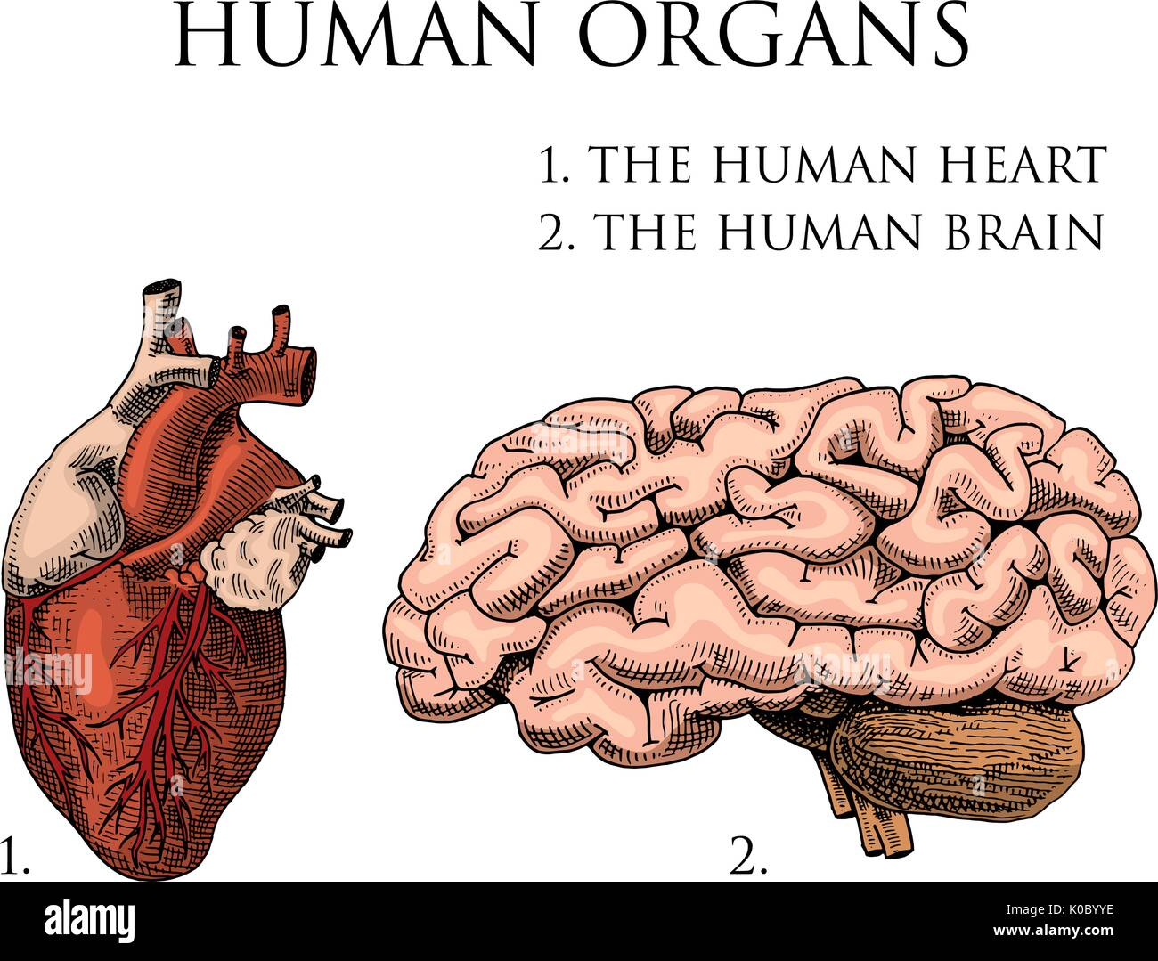 Human biology, organs anatomy illustration. engraved hand drawn in ...