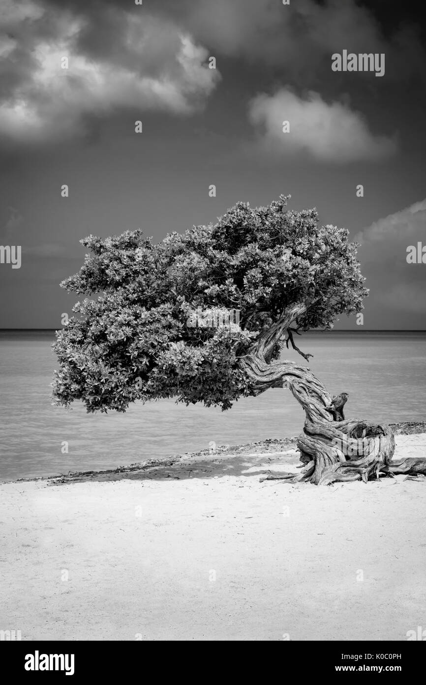Weathered Fototi tree (often mistaken for Divi Divi) on the beach of Aruba, West Indies Stock Photo