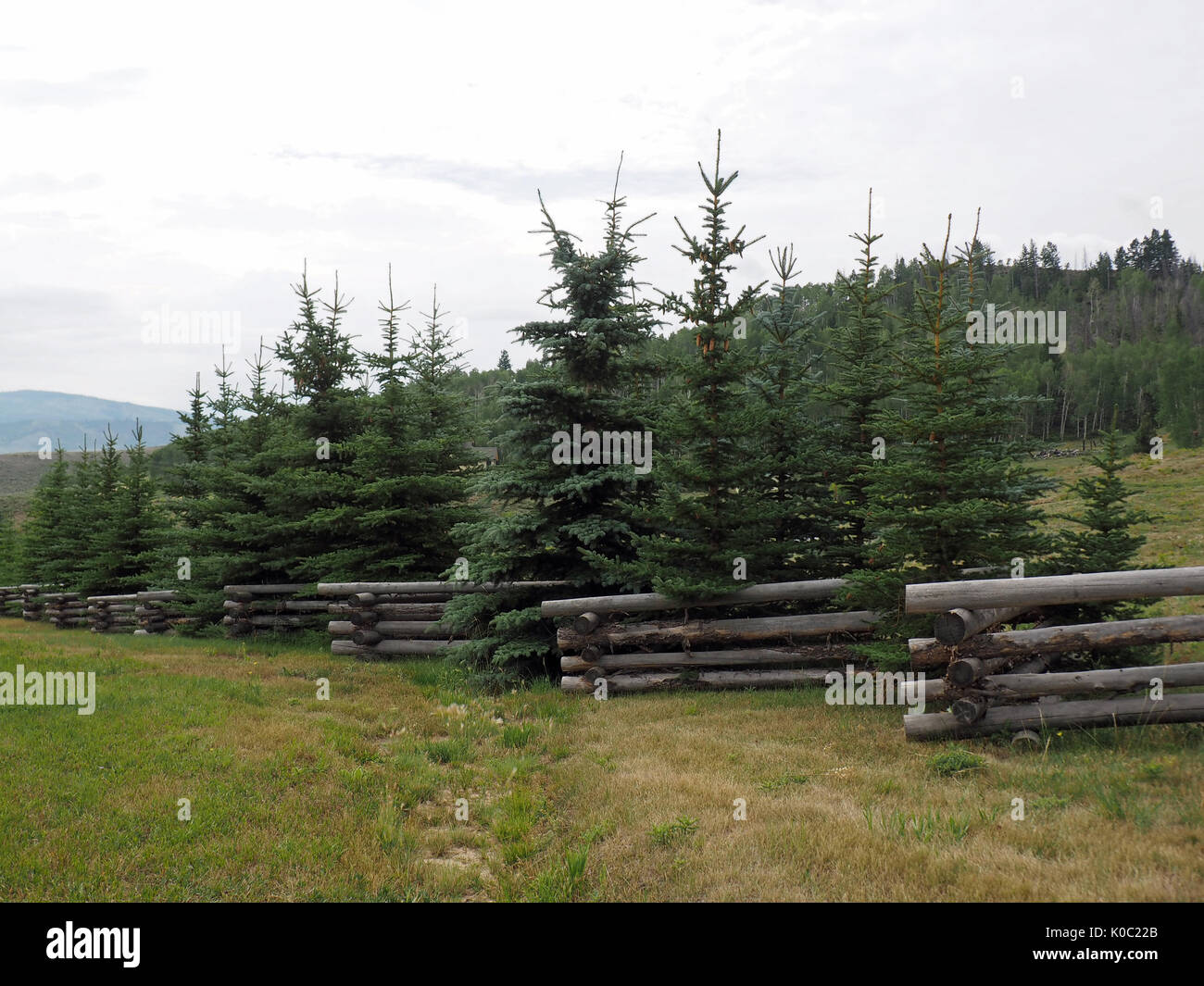 evergreen trees by a log fence - Stock Image
