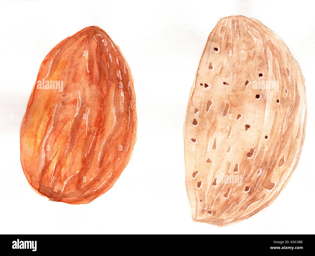 Nut almonds. In the shell and purified kernel. Hand drawing watercolor. Very detailed illustration of a large size. For the food and cosmetic industry - Stock Image