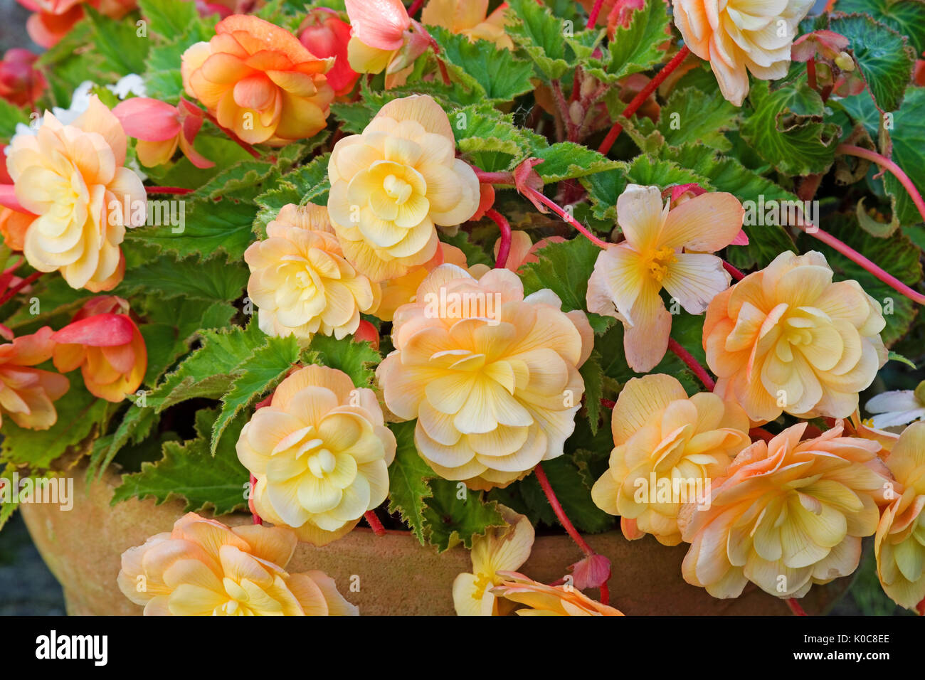 Apricot colored flowers stock photos apricot colored flowers stock close up of beautiful peach coloured trailing begonia flowers in a terracotta pot mightylinksfo