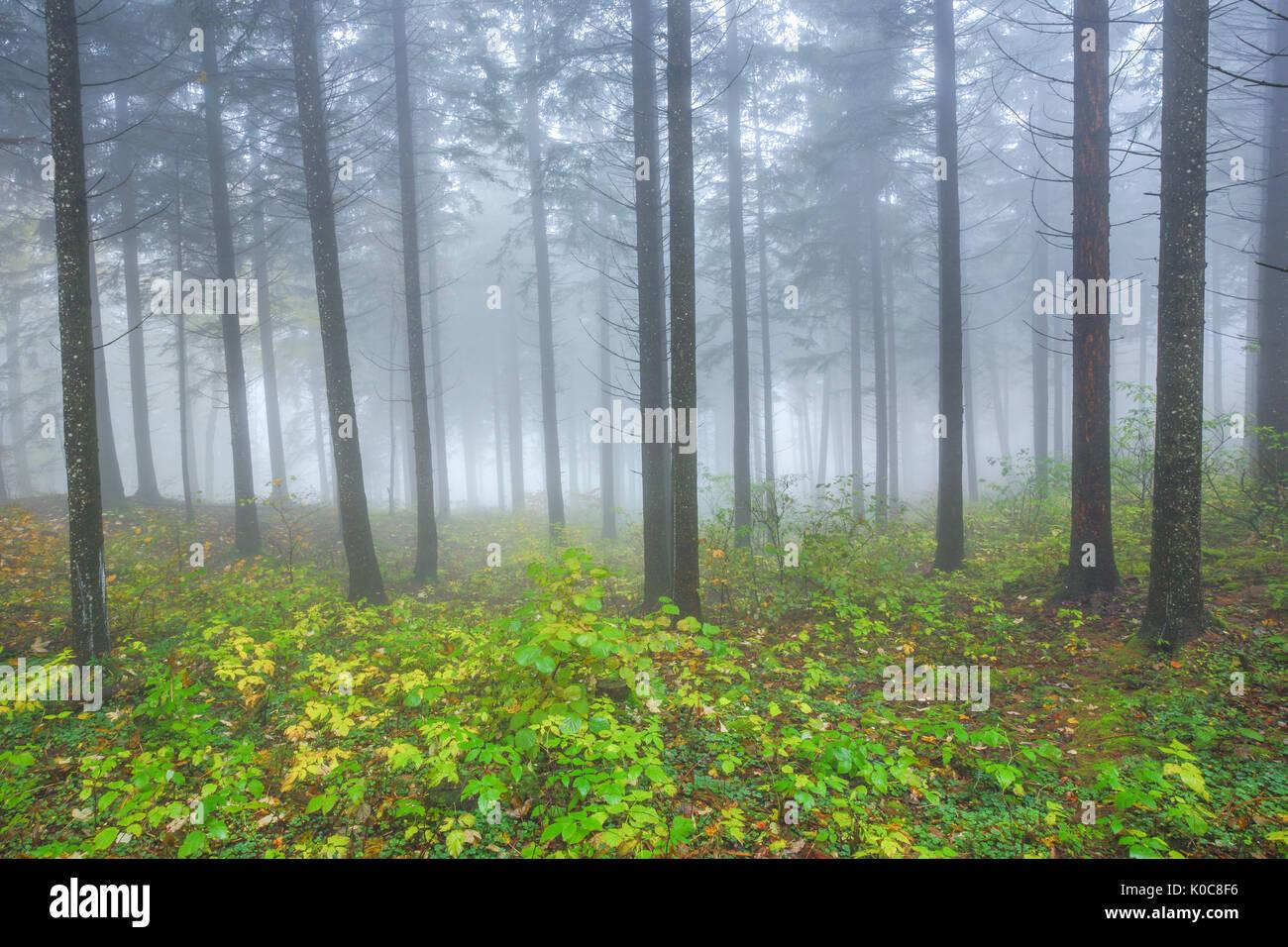 Buchenwald im Herbst, Schweiz - Stock Image