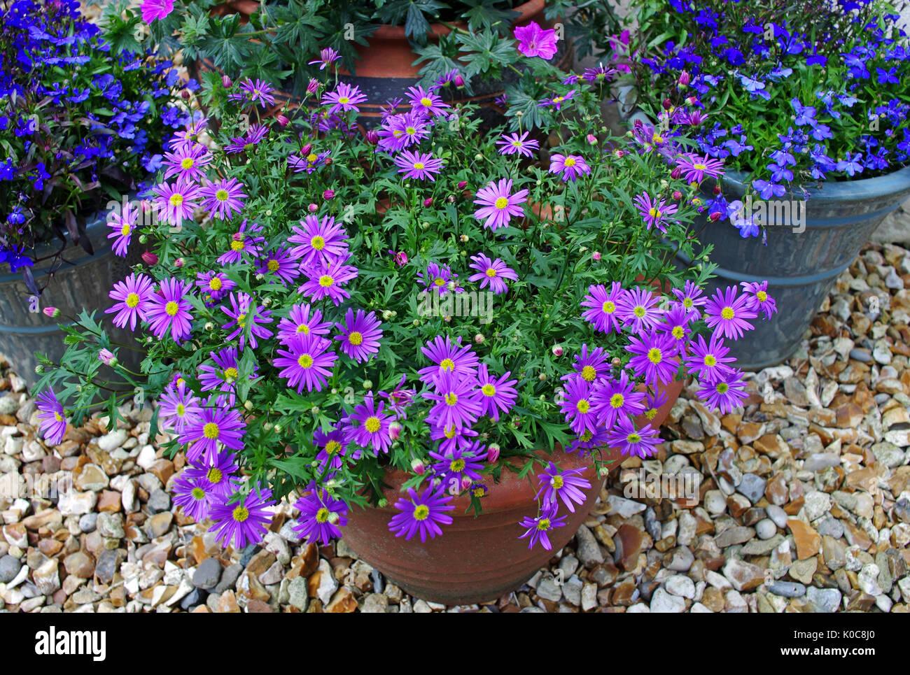 Summer flowering plants purple brachyscome and blue lobelia in pots on ornamental gravel patio. - Stock Image