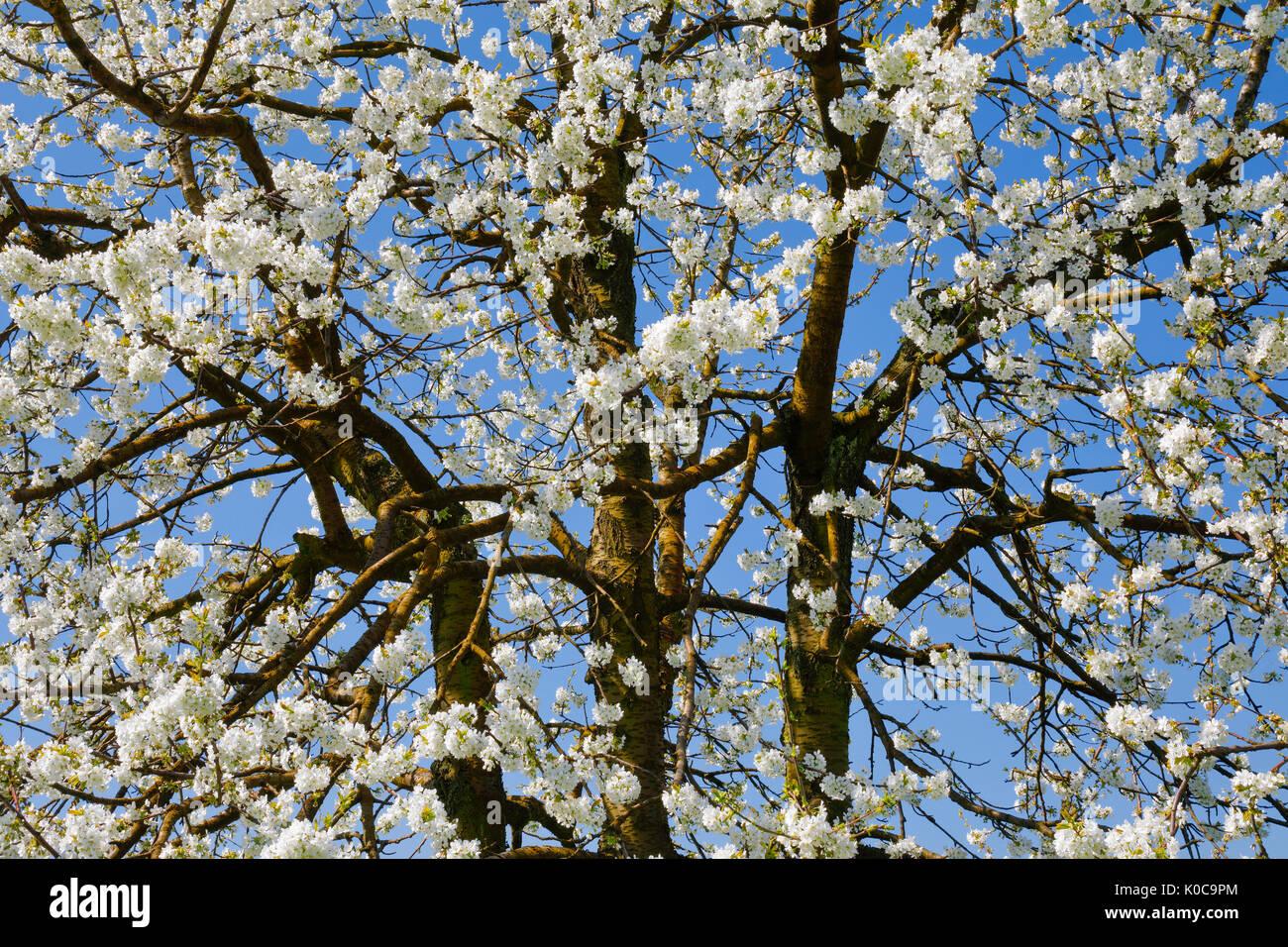 Kirschbaum im Frühling, Prunus avium, Schweiz Stock Photo