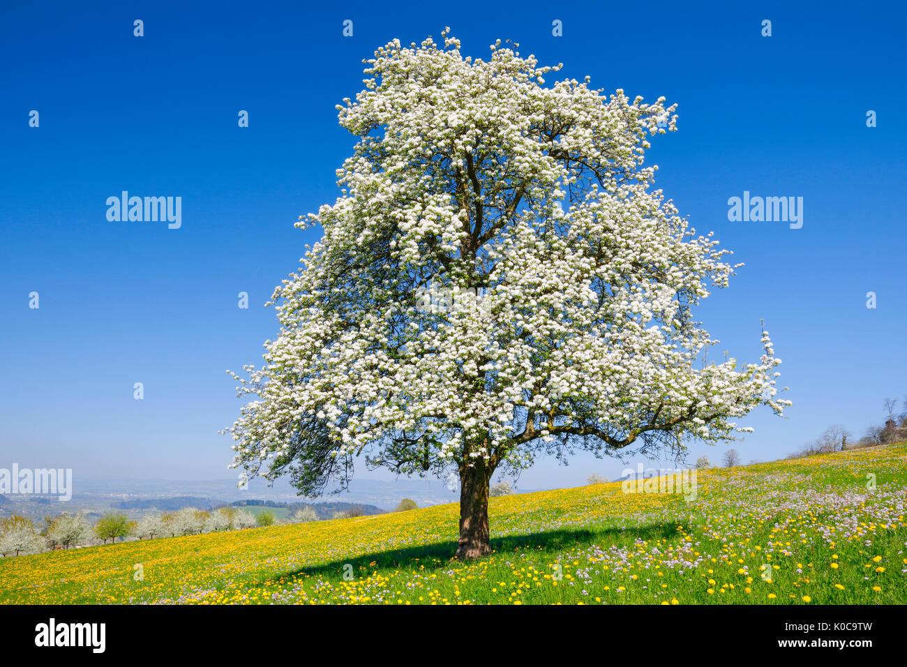 Blühender Birnbaum im Frühling, Schweiz Stock Photo