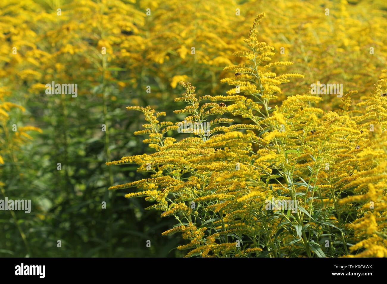 Blooming goldenrod. Solidago, or goldenrods, is a genus of flowering plants in the aster family, Asteraceae - Stock Image