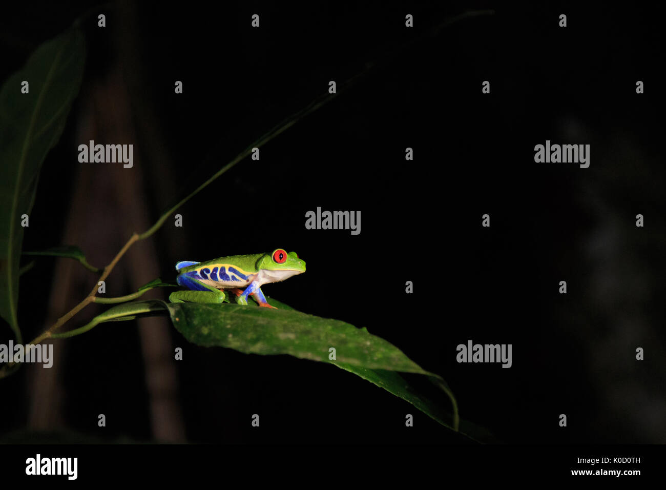 A Red-eyed Tree Frog at night at Maquenque Eco-lodge, Costa Rica. Stock Photo