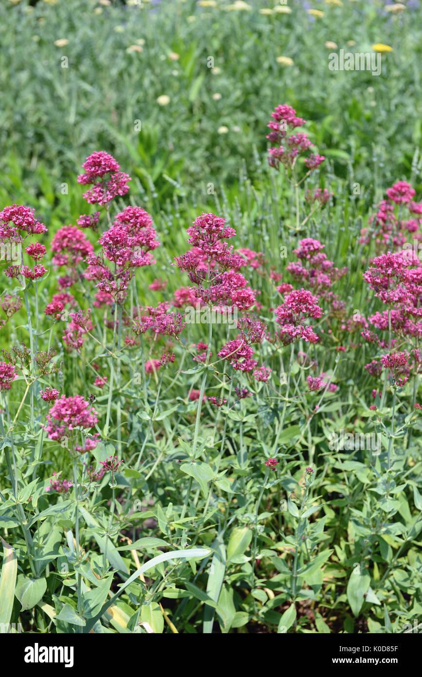 flowerbed of pink vervain flower (Purpletop Vervain). Brazilian Verbena. - Stock Image