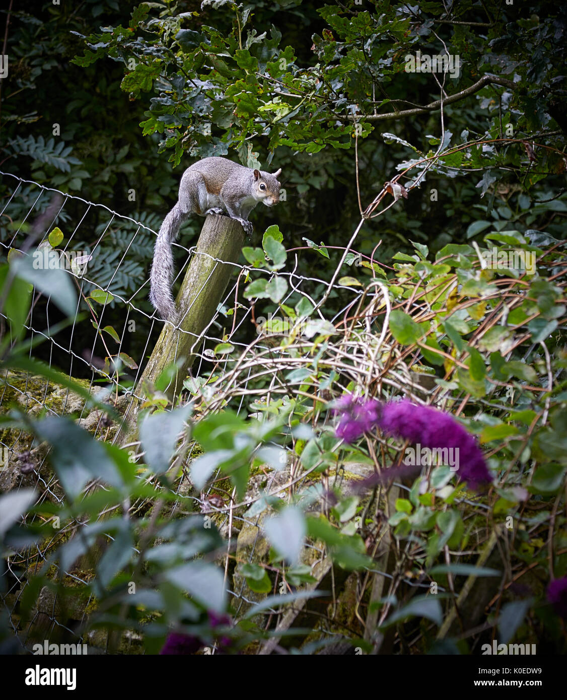Grey squirrel on fencepost amongst Oak, Ash, Rowan and Honey Suckle. August in Nidderdale, North Yorkshire - Stock Image
