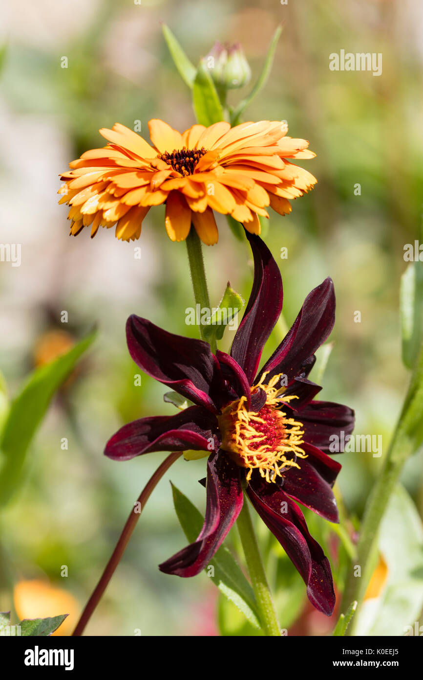 Late summer plant combination of the annual marigold, Calendula 'Indian Prince', and the tender perennial, Dahlia 'Dark desire' - Stock Image