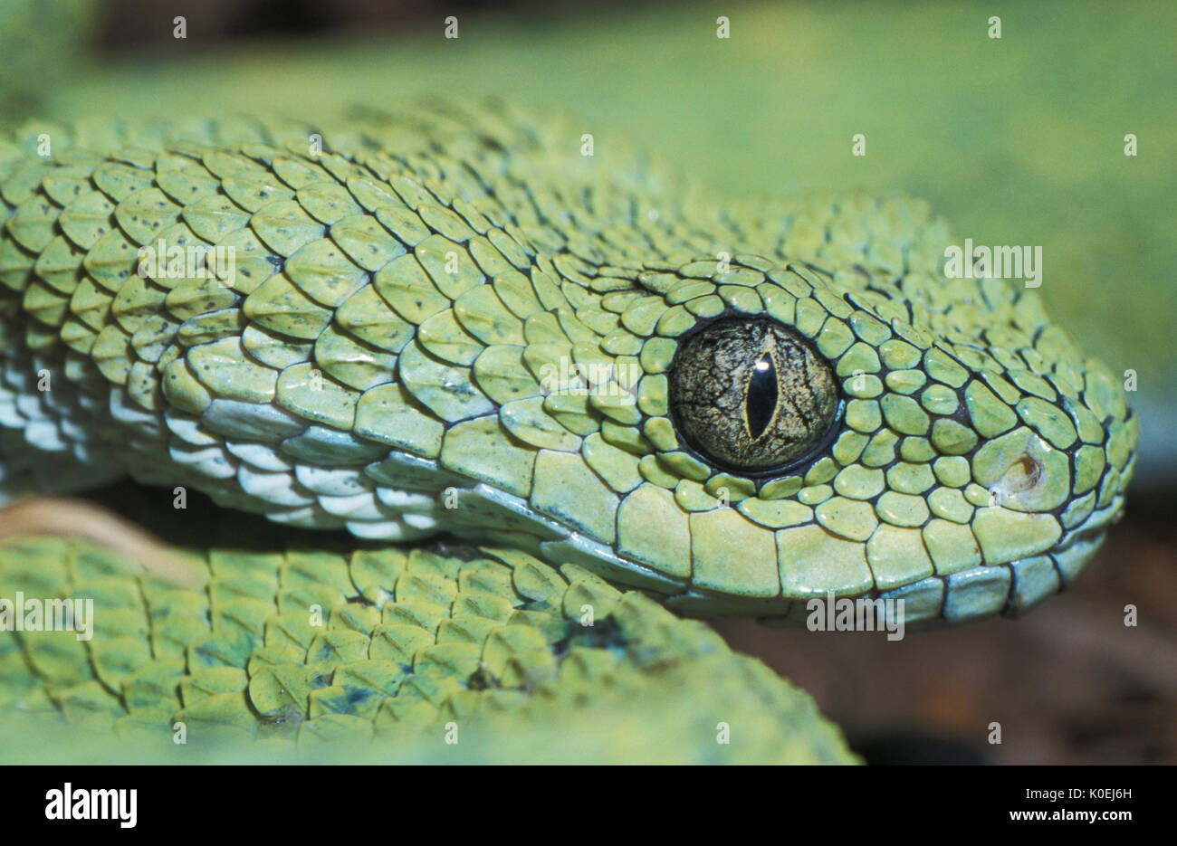 West African Bush Viper Snake, Atheris chlorechis, Africa, found only in the forests of West Africa, in  Guinea-Bissau, Guinea, Sierra Leone, Liberia, - Stock Image