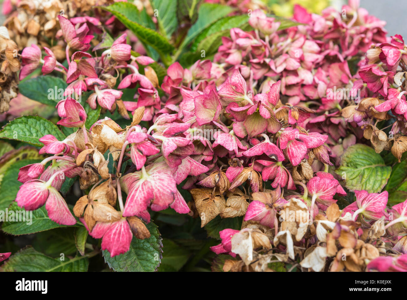 Dying flowers on a Hydrangea macrophylla 'Selma' (Dutch Ladies Series) Shrub near the end of Summer in West Sussex, England, UK. - Stock Image
