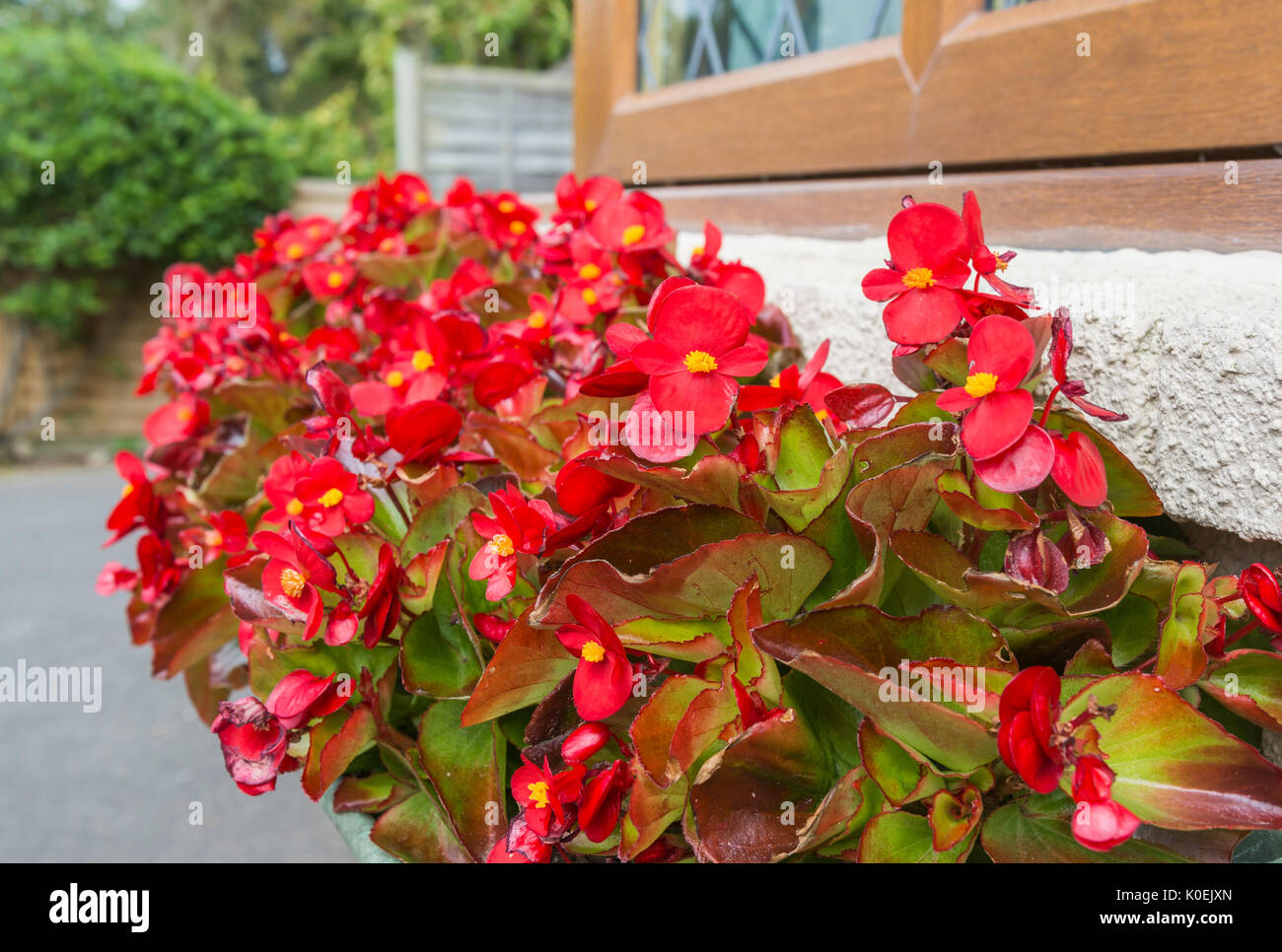 Wax Begonia plant (Begonia semperflorens) bedding variety flowering in a flower box in mid Summer in West Sussex, England, UK. Red Wax Begonia plant. - Stock Image