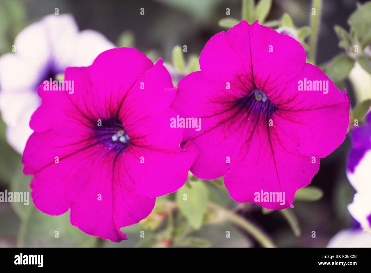 Flowers of pink petunia Stock Photo