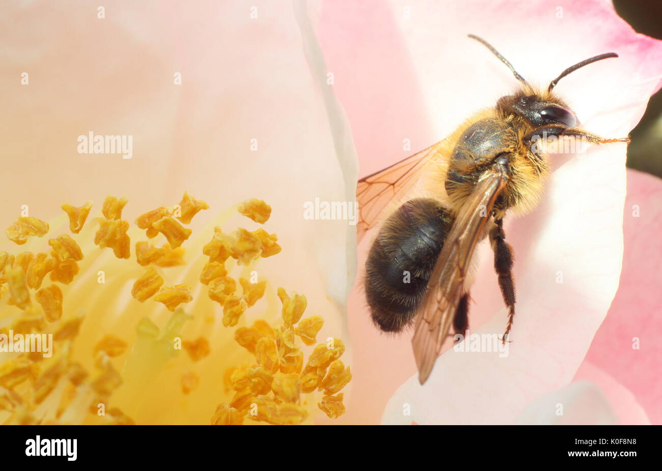 European honeybee (Apis Mellifera) at the centre of a camellia flower in an English garden in mid spring - Stock Image