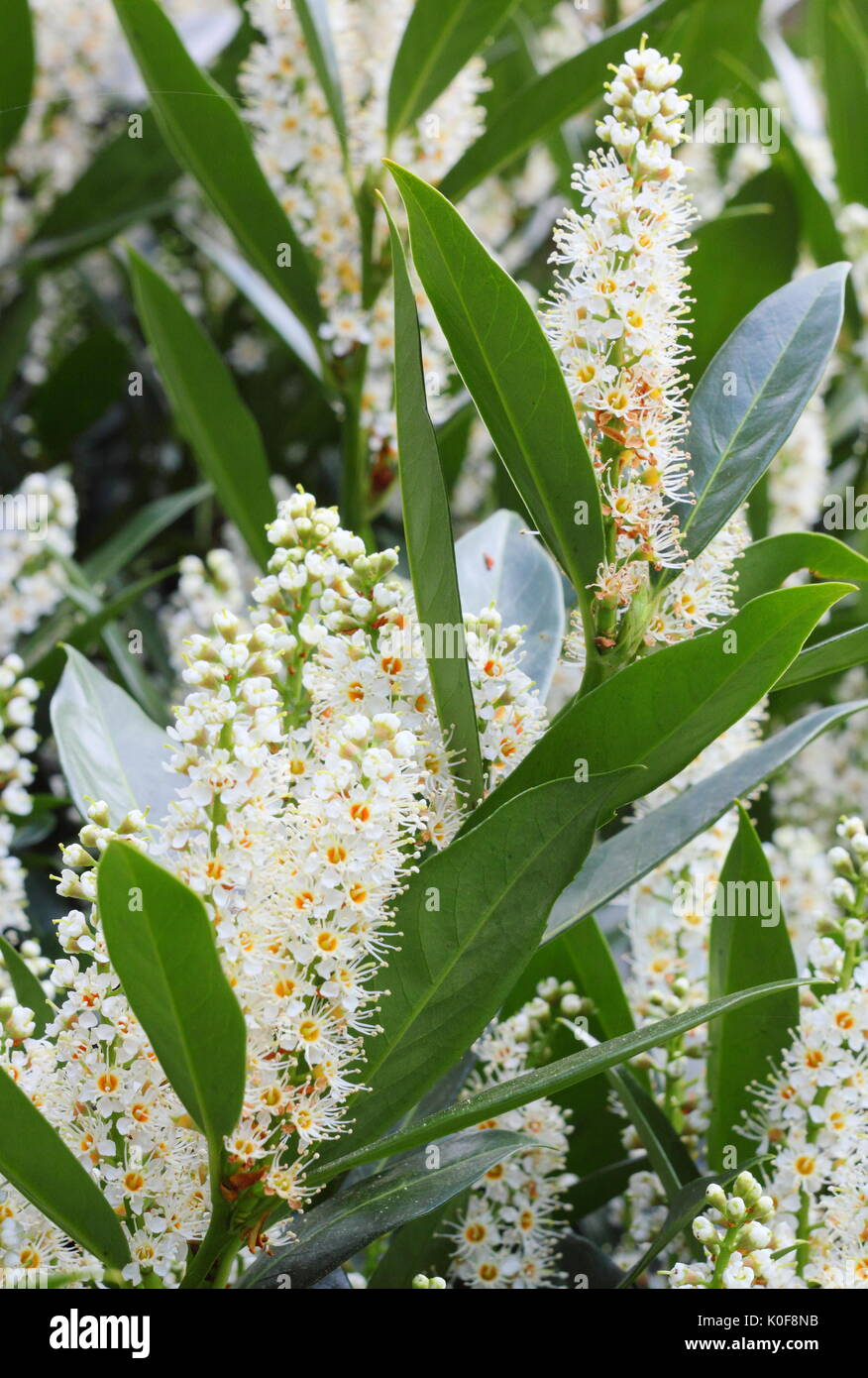 Cherry Laurel (Prunus Laurocerasus),also called English laurel -evergreen shrub displaying showy flowers, or racemes, in spring (April) in a UK garden - Stock Image