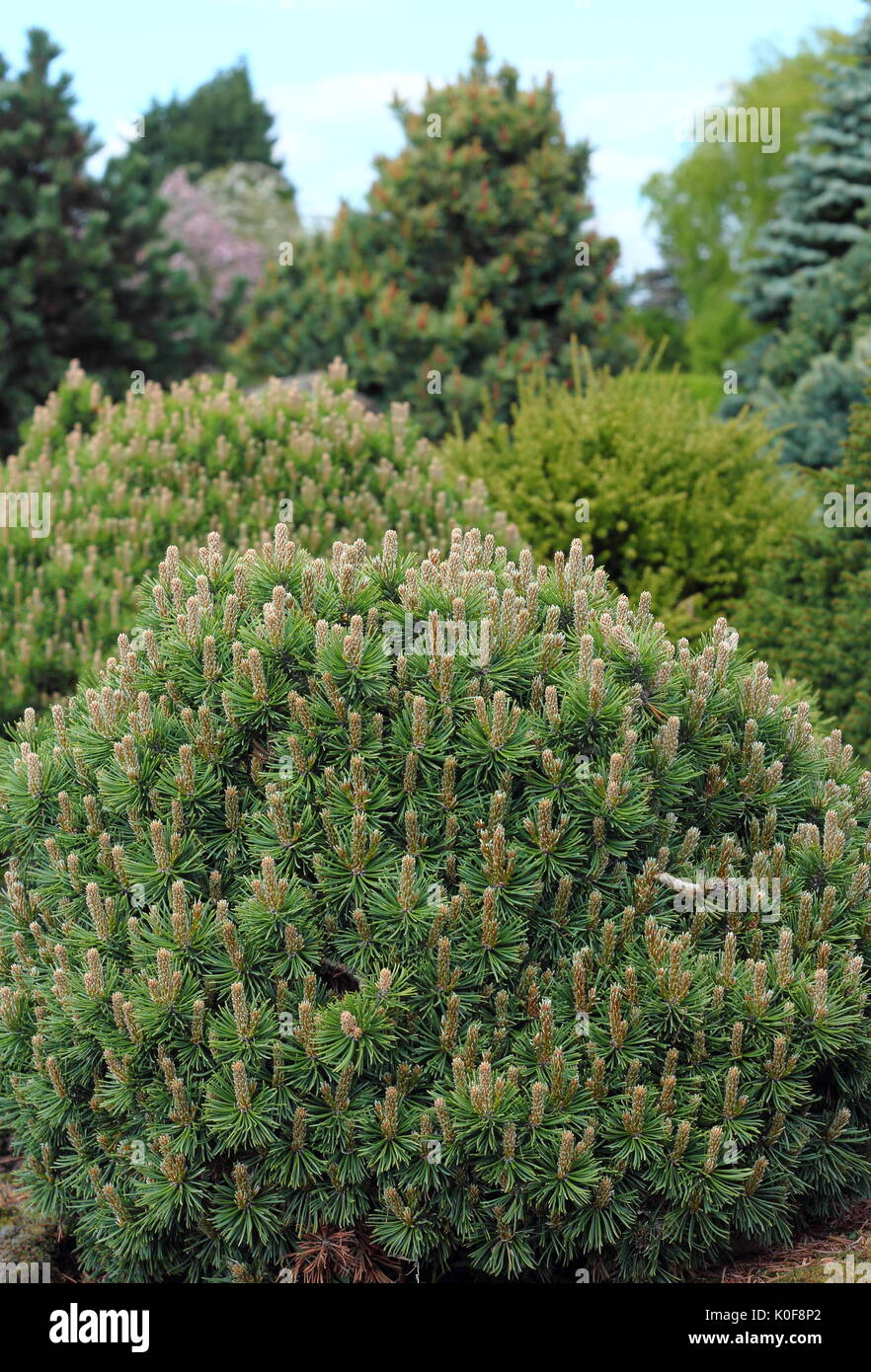 Evergreen ornamental bed featuring varieties of coniferous trees and shrubs (Abies and Pinus) lend attractive year round colour to a UK garden - Stock Image