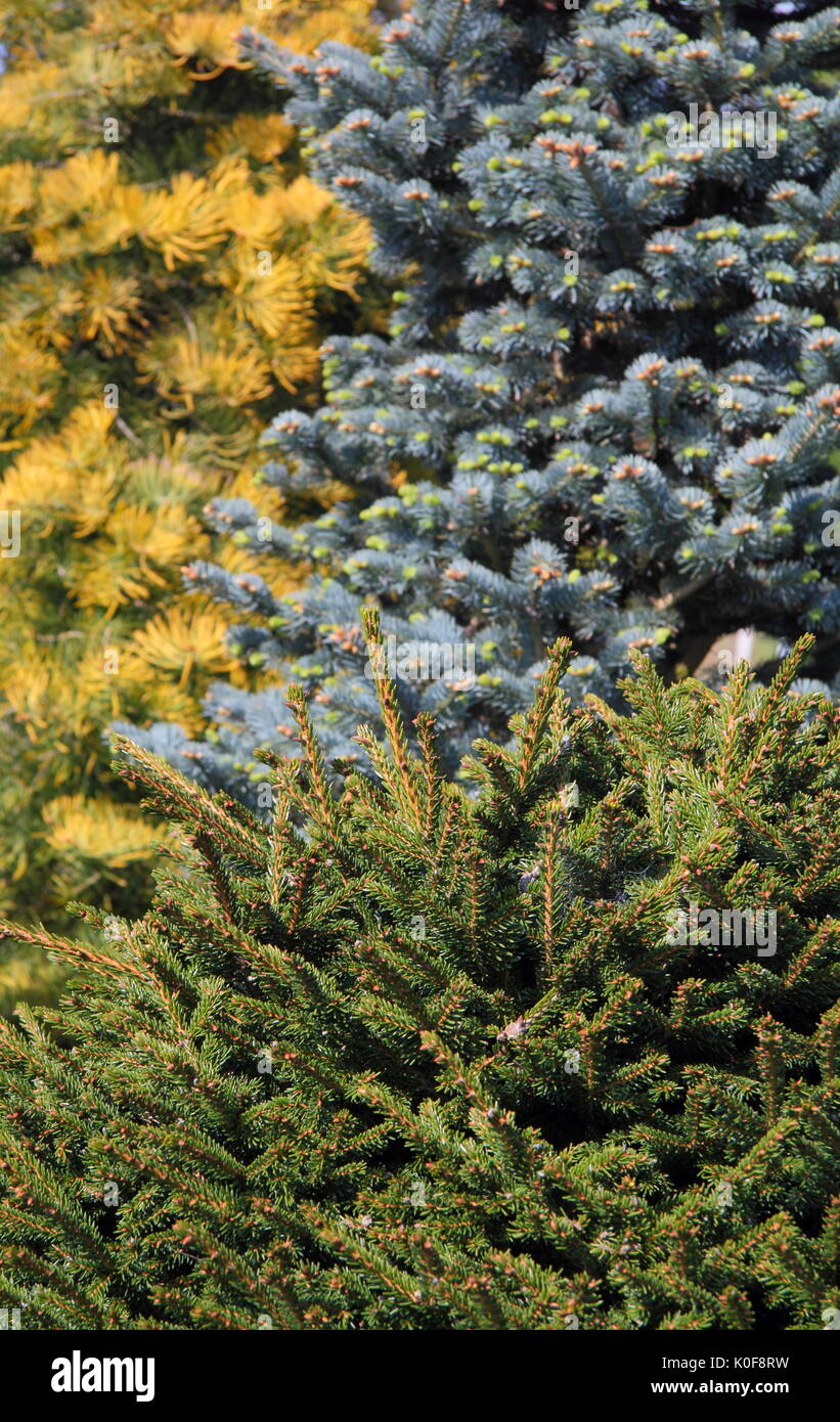 Evergreen ftrees, Abies concolor 'Wintergold' (L), Abies Lasiocarpa Arizonica (R) and Picea Orientalis Barnes (foreground), UK garden - Stock Image