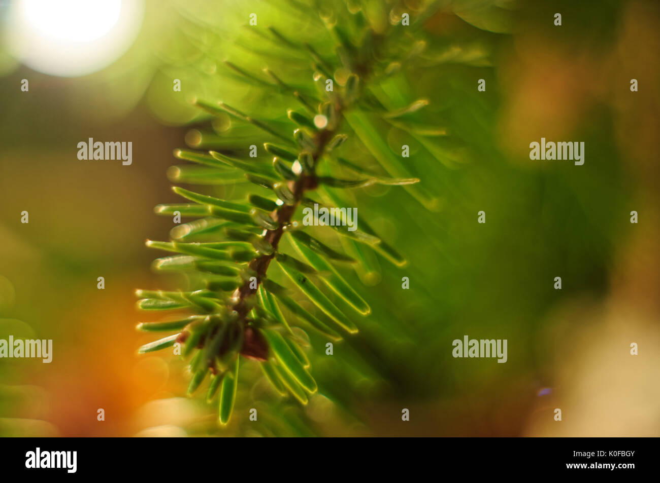 Christmas tree twig. - Stock Image