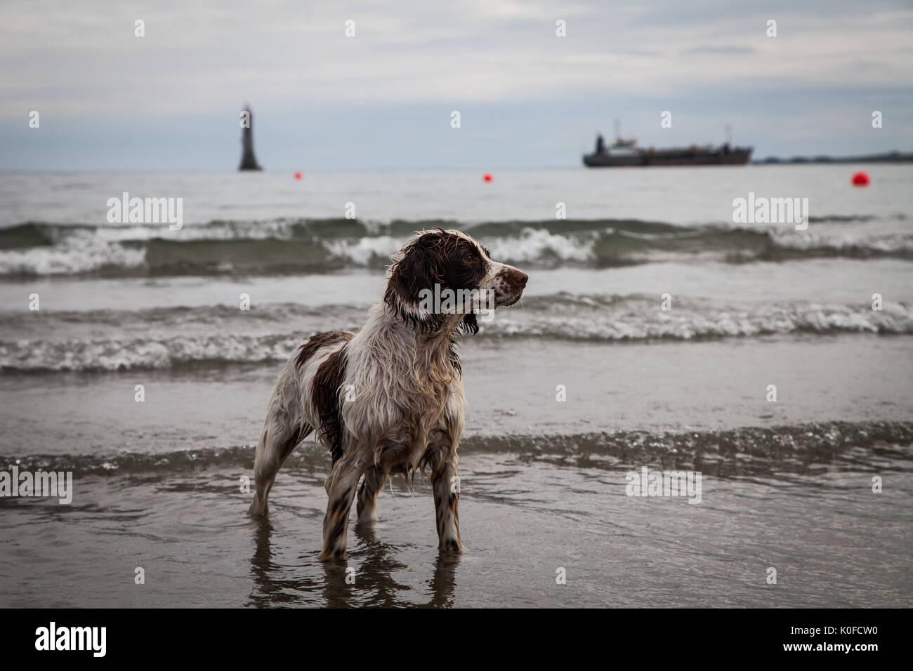 Dog on beach in Ireland - Stock Image