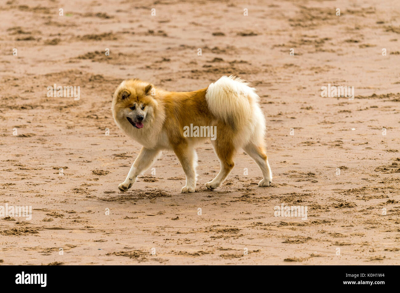 Who let the dogs out! Dogs on the beach exercising, playing, running, jumping and frolicking on beautiful summer's Stock Photo