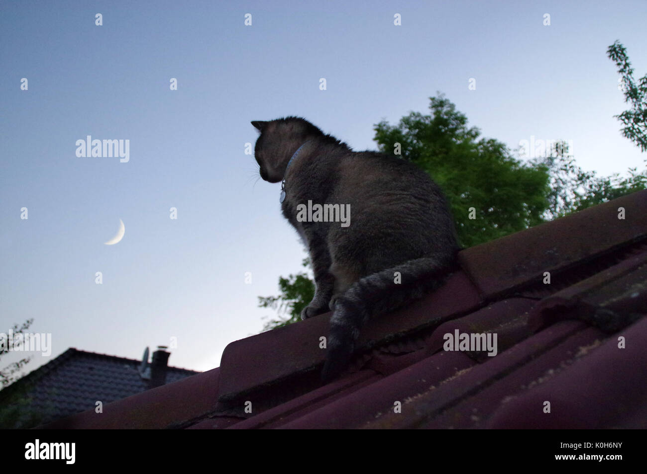 Domestic cat sitting on roof and watching for sky with the Moon - Stock Image