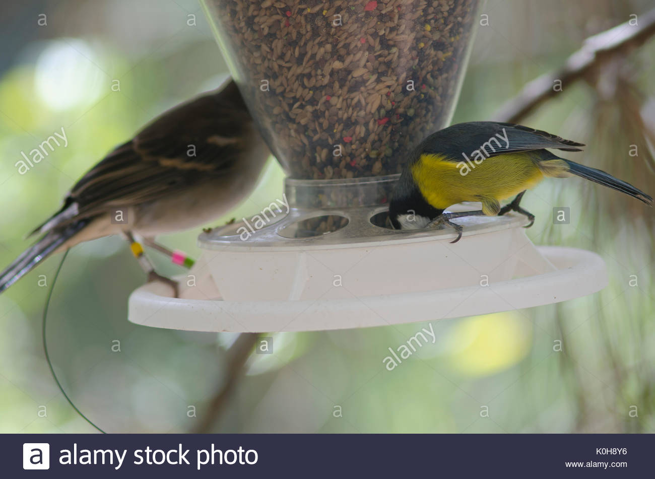 Blue tip (Parus caeruleus teneriffae) eating and Gran Canaria blue chaffinch (Fringilla polatzeki) (ringed and marked with a radio transmitter) in the - Stock Image