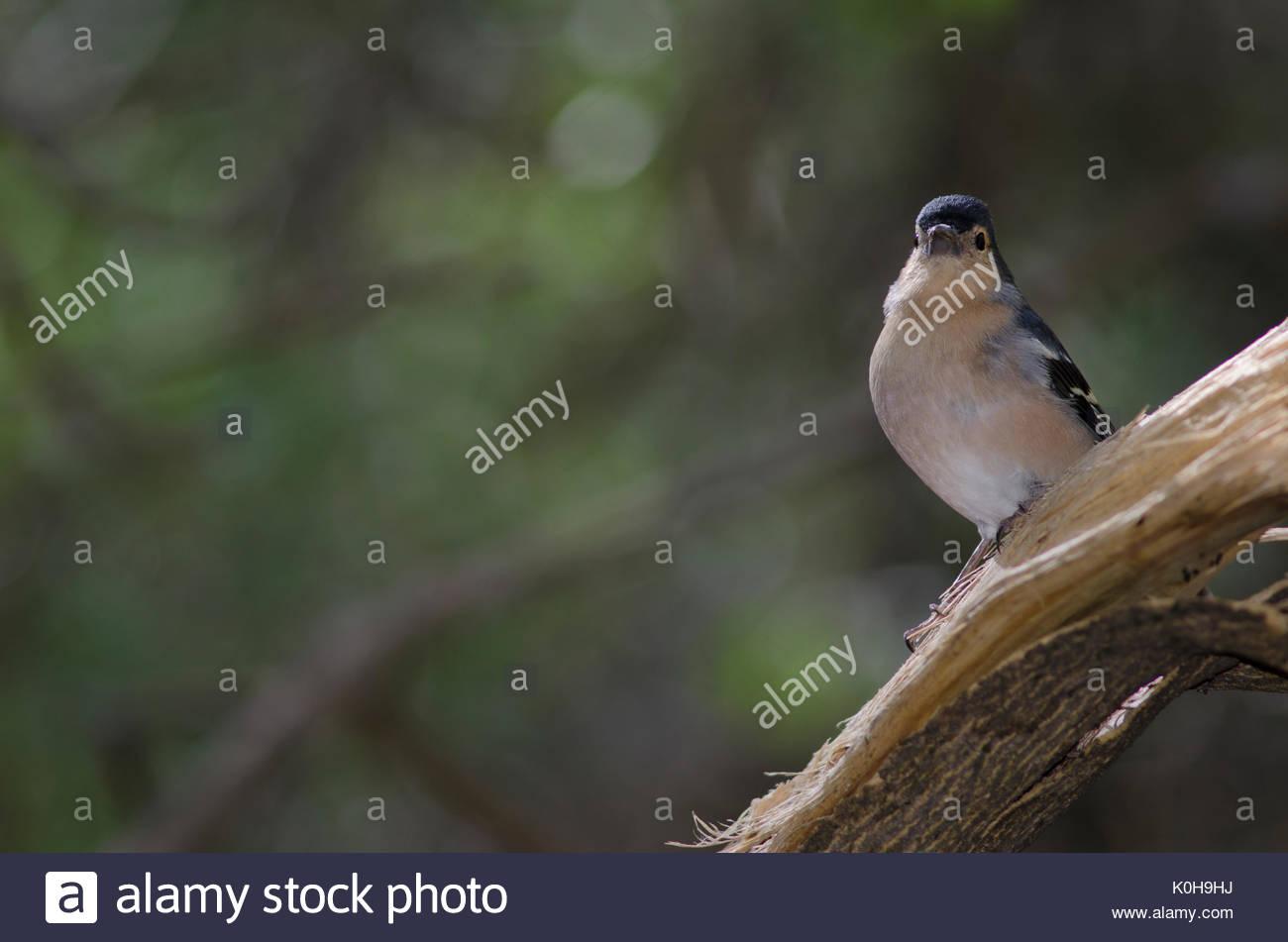 Common chaffinch (Fringilla coelebs teneriffae). Adult male. The Nublo Rural Park. Tejeda. Gran Canaria. Canary Islands. Spain. - Stock Image