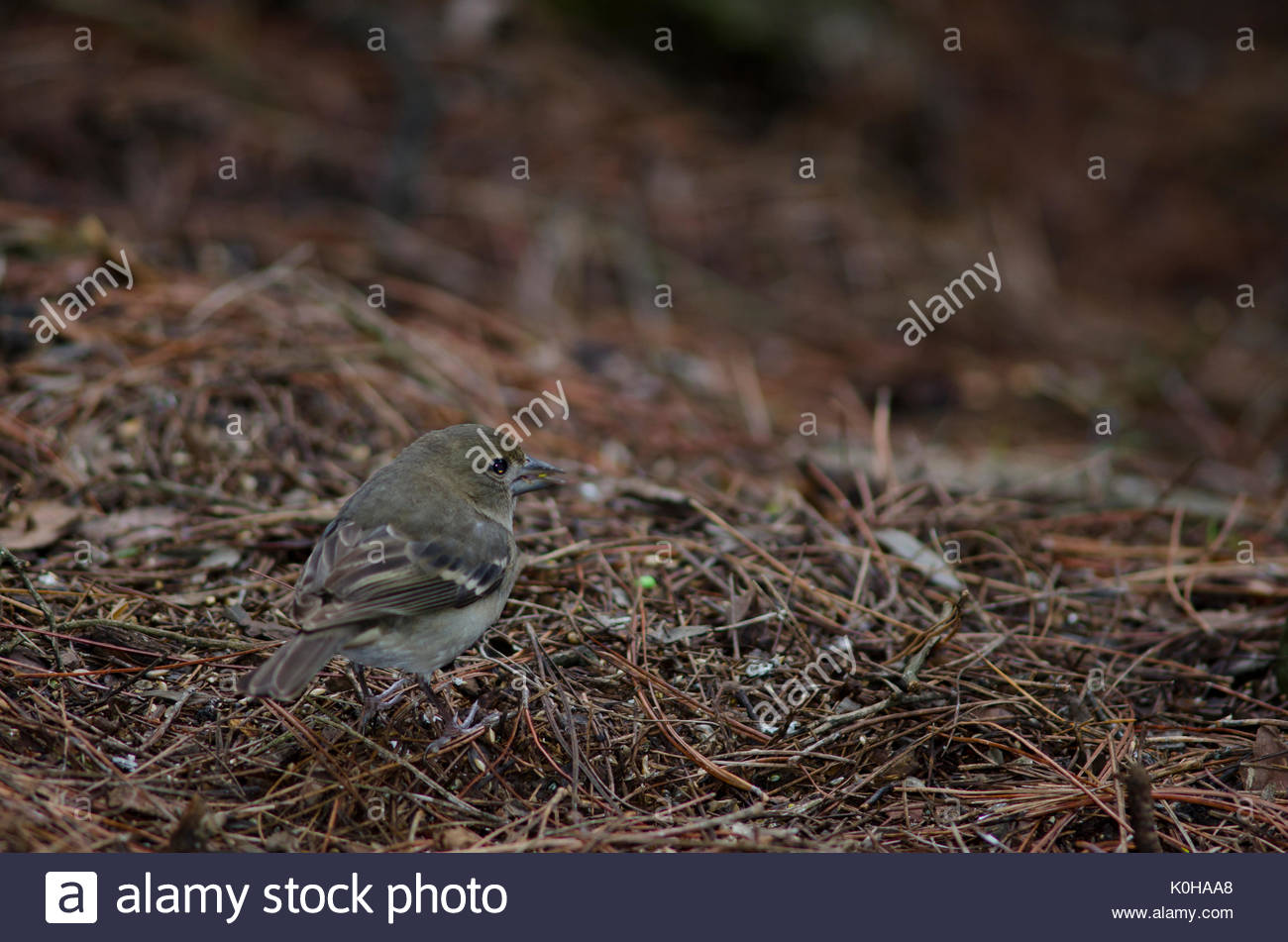 Gran Canaria blue chaffinch (Fringilla polatzeki). Female. The Nublo Rural Park. Tejeda. Gran Canaria. Canary Islands. Spain. - Stock Image