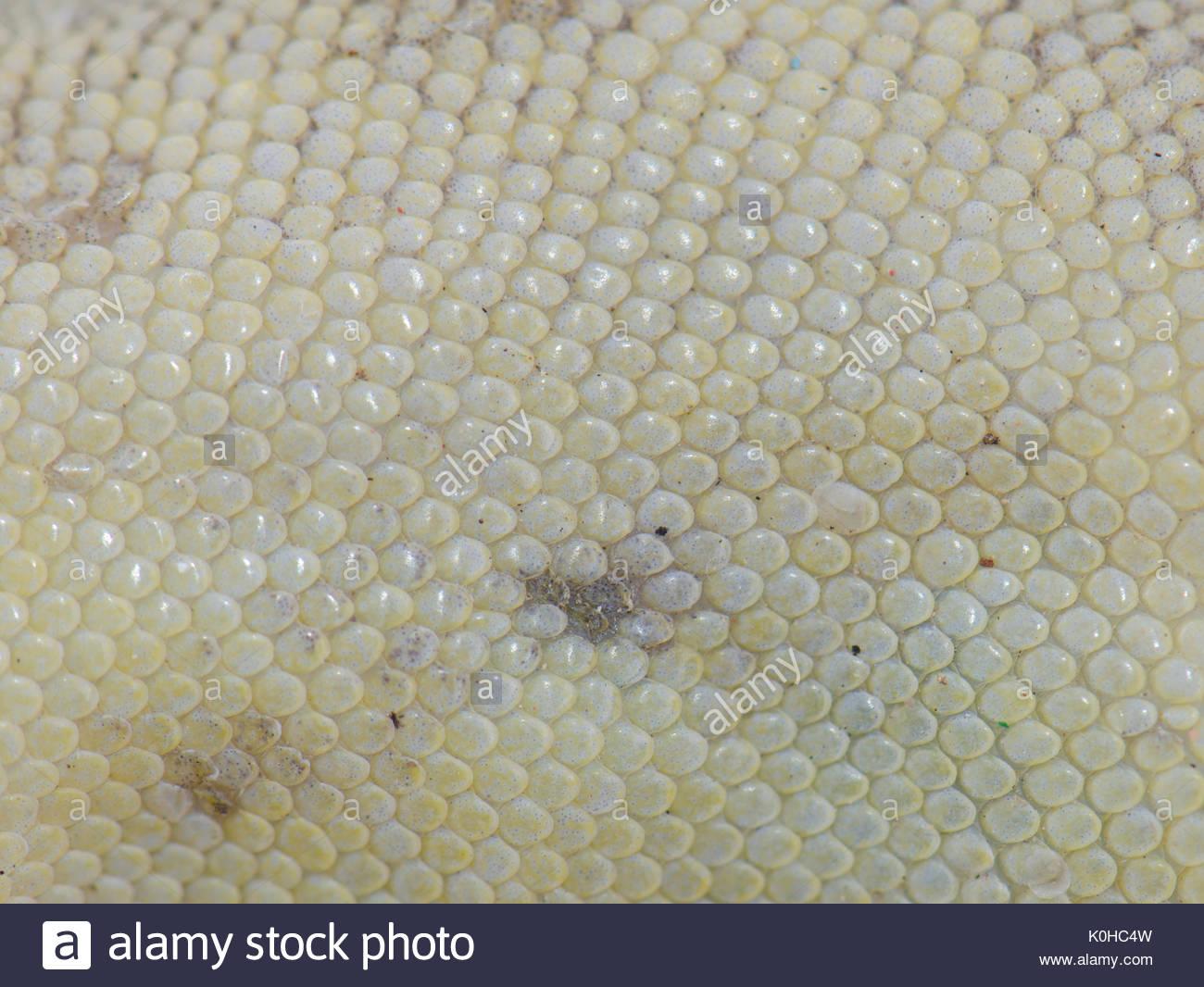 Detail of the scales (underside) of a Boettger's wall gecko (Tarentola boettgeri) killed by a dog. Schamann. Las Palmas de Gran Canaria. Gran Canaria. - Stock Image