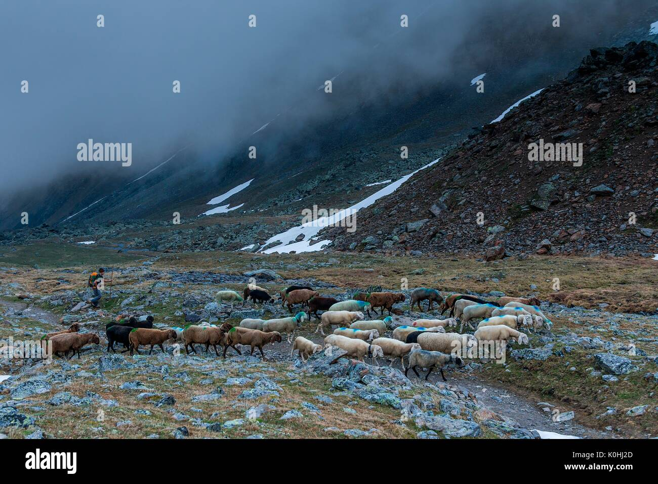 Senales/Schnals, South Tyrol, Italy. Since thousands of years the shepherd brings the sheep on the Giogo Basso (3016m) Stock Photo