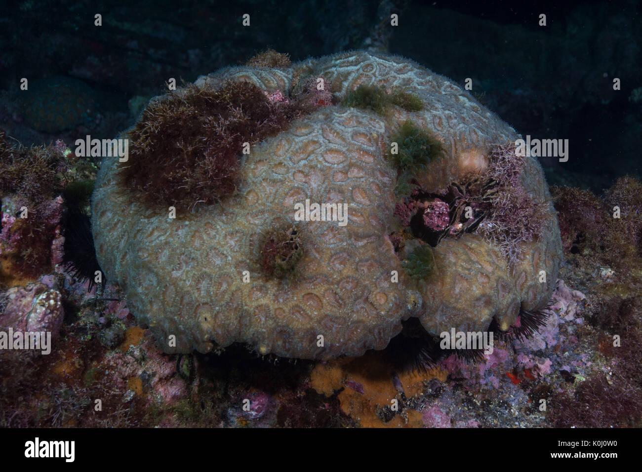 coral genus mussismilia underwater Ilha da Queimada Grande, southeast Brazil - Stock Image